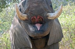 African bush elephant (Loxodonta africana). Close-up of mouth and tusks of African bush elephant (Loxodonta africana) in Kruger National Park, South Africa stock photography