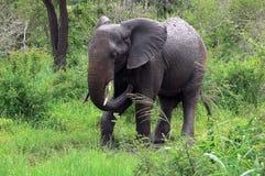 African bush elephant (Loxodonta africana) Royalty Free Stock Photo