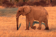 African bush elephant. The African bush elephant Loxodonta africana goes grass. Large mammal goes in evening sun royalty free stock images