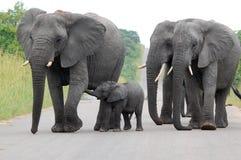 African bush elephant (Loxodonta africana) Stock Photo