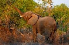 African bush elephant (Loxodonta africana) Royalty Free Stock Image