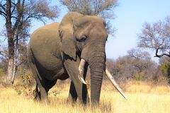 African bush elephant (Loxodonta africana). In Kruger National Park, South Africa royalty free stock photo