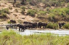 African bush elephant (Loxodonta africana) Royalty Free Stock Photography