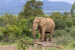 African bush elephant Loxodonta africana Stock Image