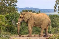 African bush elephant Loxodonta africana Royalty Free Stock Photo