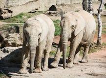African bush elephant (Loxodonta africana) Stock Image