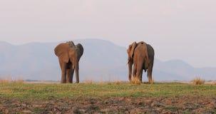 African bush elephant - Loxodonta Africana pair two elephants on the Zambezi riverside, Mana Pools in Zimbabwe near Zambia stock video
