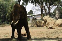 Dusty African Bush Elephant In Park loxodonta africana royalty free stock photos
