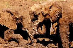 African bush elephant (Loxodonta africana) Stock Photos