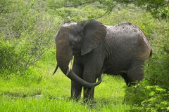 African bush elephant (Loxodonta africana). Playing in the rain in Kruger National Park, South Africa Stock Image