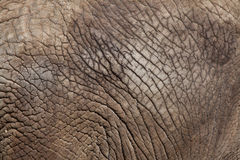 African bush elephant (Loxodonta africana). Skin texture. Wild life animal stock photo