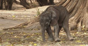 African Bush Elephant - Loxodonta africana small baby elephant with its mother, drinking, sucking milk, walking and eating leaves stock footage