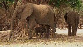 African Bush Elephant - Loxodonta africana small baby elephant with its mother, drinking, sucking milk, walking and eating leaves stock video