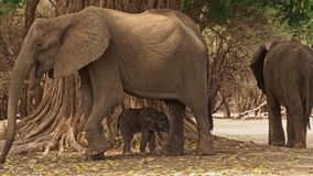 African Bush Elephant - Loxodonta africana small baby elephant with its mother, drinking, sucking milk, walking and eating leaves stock video footage