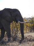 African bush elephant. (Loxodonta africana) in South Africa Royalty Free Stock Photography