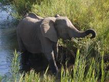 African bush elephant. (Loxodonta africana) in South Africa Stock Photos
