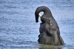 African bush elephant (Loxodonta africana) swimming Royalty Free Stock Image
