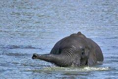 African bush elephant (Loxodonta africana) swimming Royalty Free Stock Images