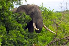 African bush elephant (Loxodonta africana) Royalty Free Stock Images