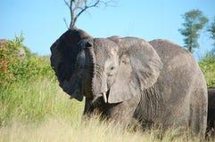 African bush elephant (Loxodonta africana) Stock Images