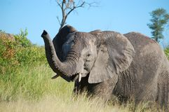 African bush elephant (Loxodonta africana). Tusker in Kruger National Park, South Africa stock photos