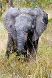 African bush elephant (Loxodonta africana) Royalty Free Stock Photos