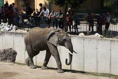 African bush elephant (Loxodonta africana). Royalty Free Stock Photos