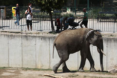 African bush elephant (Loxodonta africana). Royalty Free Stock Photography