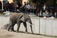 African bush elephant (Loxodonta africana). Stock Images