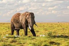 African bush elephant Loxodonta africana walking on grass in savanna, white heron birds around its feet royalty free stock image
