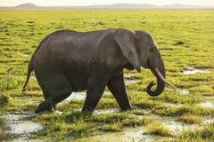 African bush elephant Loxodonta africana walking on savanna, grass covered in water stock photos