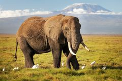 African bush elephant Loxodonta africana walking on savanna, w royalty free stock photography