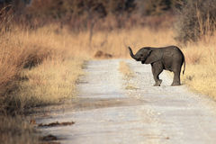 African bush elephant. The African bush elephant Loxodonta africana the young elephant sniffing with a raised trunk. Baby on the road stock images