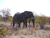 African bush elephant. (Loxodonta africana) in Zambia Stock Image