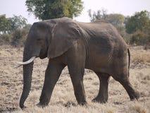 African bush elephant. (Loxodonta africana) in Zambia Royalty Free Stock Image