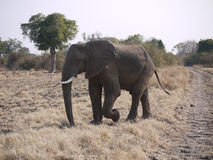 African bush elephant. (Loxodonta africana) in Zambia Stock Photo