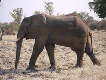 African bush elephant. (Loxodonta africana) in Zambia Royalty Free Stock Photos
