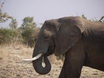 African bush elephant. (Loxodonta africana) in Zambia Royalty Free Stock Photo