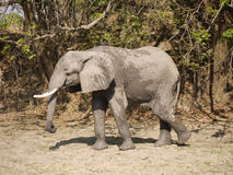 African bush elephant. (Loxodonta africana) in Zambia Stock Photography