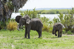 African bush elephant male and calve Stock Images