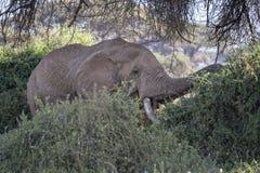 African Bush Elephant. African elephant, male, feeding in bushes , Kenya Stock Images