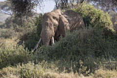 African Bush Elephant. African elephant, male, walk out of  bushes , Kenya Royalty Free Stock Photos