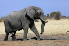 African bush elephant. A massive bull elephant at the waterhole, african bush elephant Loxodonta africana Stock Photography