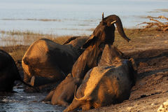 African bush elephant during mud baths. The African bush elephant & x28;Loxodonta africana& x29;, elephants are playing in the mud on the shore of the river, big stock photos