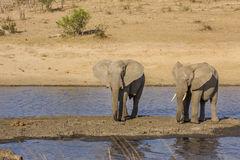 African bush elephant in the riverbank,  in Kruger Park, South Africa Royalty Free Stock Photos