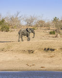 African bush elephant in the riverbank,  in Kruger Park, South Africa Stock Photo