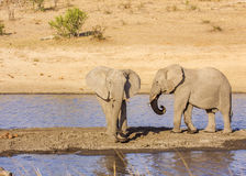 African bush elephant in the riverbank,  in Kruger Park, South Africa Stock Photography