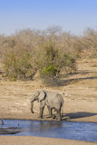African bush elephant in the riverbank,  in Kruger Park, South Africa Royalty Free Stock Photo