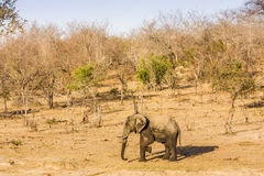 African bush elephant in the riverbank,  in Kruger Park, South Africa Royalty Free Stock Images