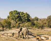 African bush elephant in the riverbank,  in Kruger Park, South Africa Stock Photos